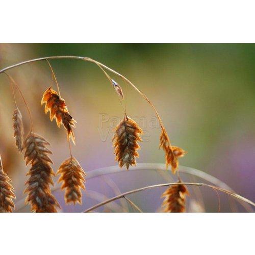 Siergrassen-ornamental grasses Chasmanthium latifolium - Plataargras