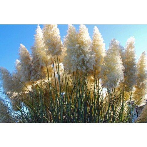 Siergrassen-ornamental grasses Cortaderia selloana Pumila - Dwerg pampasgras