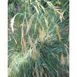 Siergrassen-ornamental grasses Helictotrichon sempervirens - Blauwe straalhaver - Sierhaver