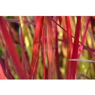 Siergrassen-ornamental grasses Imperata cylindrica Red Baron - Japanese blood grass