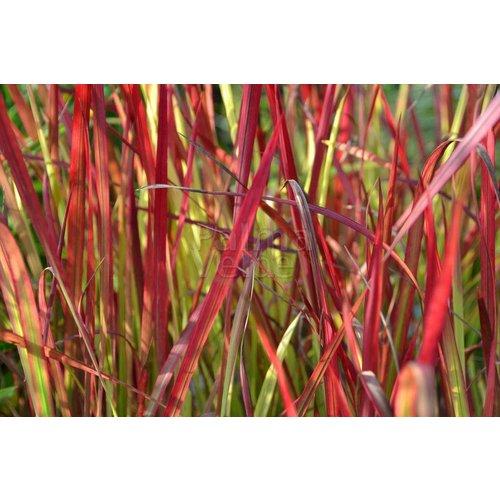 Siergrassen-ornamental grasses Imperata cylindrica Red Baron - Japans bloedgras