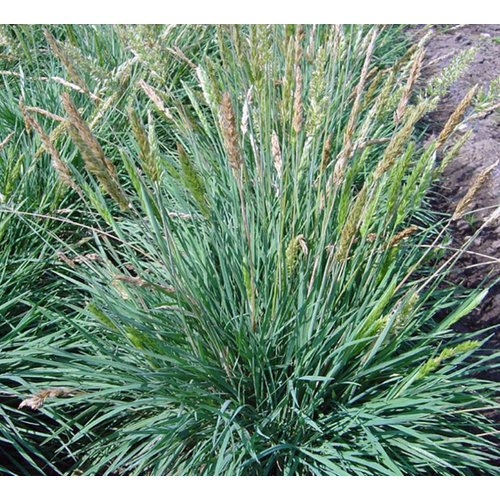 Siergrassen-ornamental grasses Koeleria glauca - Fakkelgras