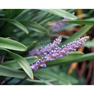 Bloemen-flowers Liriope muscari Big Blue - Leliegras