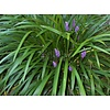 Bloemen-flowers Liriope muscari Big Blue