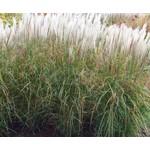 Siergrassen-ornamental grasses Miscanthus sinensis Kleine Silberspinne - Prachtriet - Japans sierriet