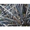 Siergrassen-ornamental grasses Ophiopogon planiscapus Niger - Black grass
