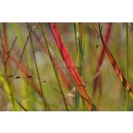 Siergrassen-ornamental grasses Panicum virgatum Shenandoah - Finger grass