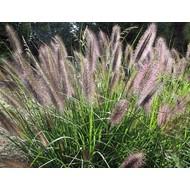 Siergrassen-ornamental grasses Pennisetum viridescens - Lampenpoetsergras