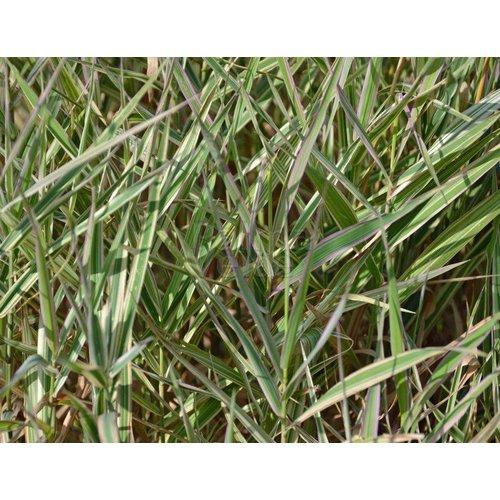 Siergrassen-ornamental grasses Phalaris arundinacea Picta