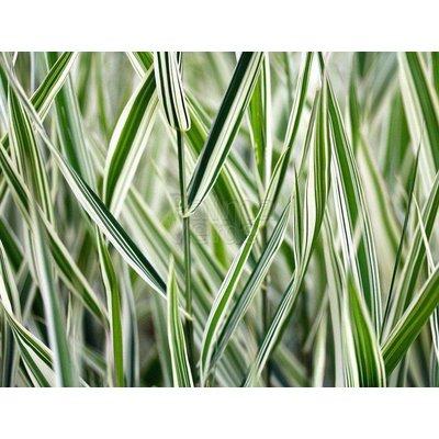 Siergrassen-ornamental grasses Phalaris arundinacea Picta - Kanariegras - Rietgras