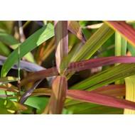 Siergrassen-ornamental grasses Spodiopogon sibiricus
