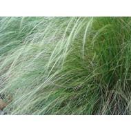 Siergrassen-ornamental grasses Stipa tenuissima Pony Tails - Feather grass