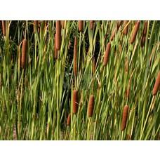 Siergrassen-ornamental grasses Typha latifolia - Grote lisdodde
