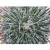 Woestijn-desert Agave filifera