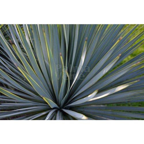 Woestijn-desert Yucca rostrata