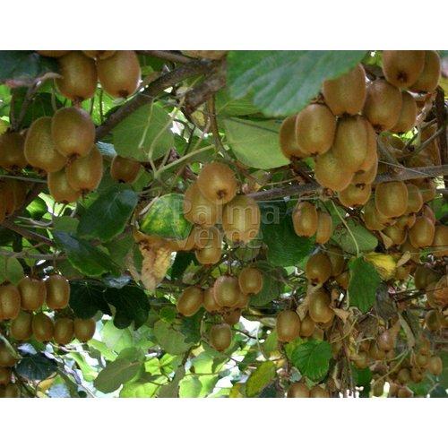 Eetbare tuin-edible garden Actinidia deliciosa Jenny - Kiwi