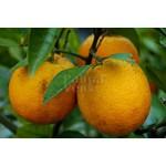 Eetbare tuin-edible garden Citrus sinensis - Orange tree