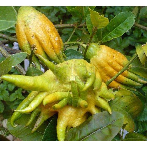 Eetbare tuin-edible garden Citrus medica Hand of Buddha - Hand van Boeddha