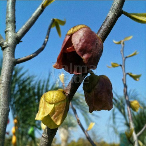 Eetbare tuin-edible garden Asimina triloba - Paw paw tree