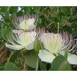 Eetbare tuin-edible garden Capparis spinosa - Caper plant