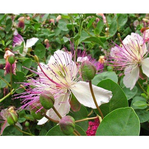 Eetbare tuin-edible garden Capparis spinosa - Kappertjesplant