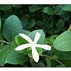 Eetbare tuin-edible garden Carissa grandiflora - Natalplum