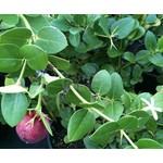 Eetbare tuin-edible garden Carissa grandiflora - Natalpruim