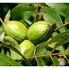 Eetbare tuin-edible garden Carya illinoinensis - Pecan