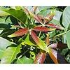 Eetbare tuin-edible garden Casimiroa edulis - White zapote
