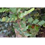 Bomen-trees Ceratonia siliqua - Johannesbroodboom