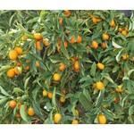 Eetbare tuin-edible garden Citrus fortunella - Citrus kumquat