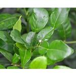 Eetbare tuin-edible garden Citrus hystrix - Djeroek poeroet - Kaffirlimoen