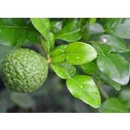 Eetbare tuin-edible garden Citrus hystrix - Djeroek poeroet - Kaffirlime