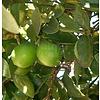 Eetbare tuin-edible garden Citrus latifolia Lime Verde - Lime