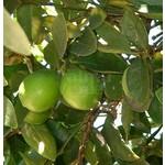 Eetbare tuin-edible garden Citrus latifolia-aurantifolia Lime Verde - Limoen