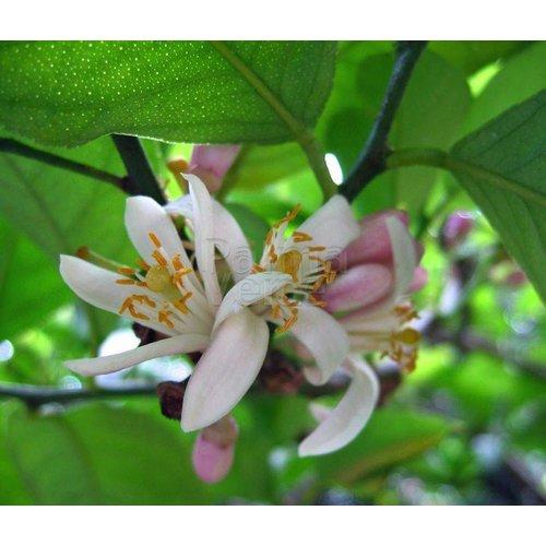 Eetbare tuin-edible garden Citrus latifolia-aurantifolia Lime Verde - Lime