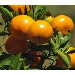 Eetbare tuin-edible garden Citrus reticulata - Citrus mandarino - Mandarijnboom