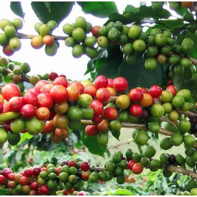 Eetbare tuin-edible garden Coffea arabica - Coffee plant