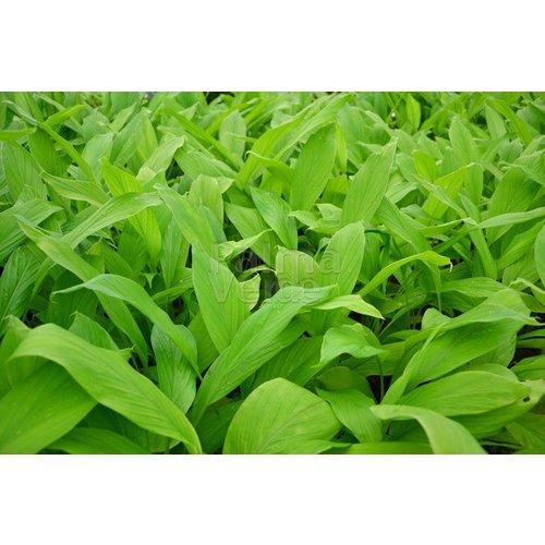 Eetbare tuin-edible garden Curcuma longa - Kurkuma - Koenjit