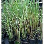 Eetbare tuin-edible garden Cymbopogon citratus - Citroengras - Sereh