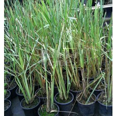 Eetbare tuin-edible garden Cymbopogon citratus - Citroengras - Lemongrass