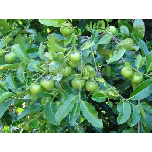 Eetbare tuin-edible garden Diospyros digyna - Black zapote - Caca poule