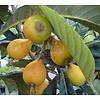 Eetbare tuin-edible garden Eriobotrya japonica - Loquat