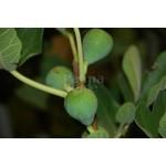 Eetbare tuin-edible garden Ficus carica - Vijgenboom
