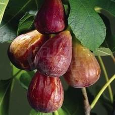 Eetbare tuin-edible garden Ficus carica Brown Turkey - Winterharde vijgenboom
