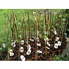 Eetbare tuin-edible garden Ficus carica Brown Turkey - Hardy fig tree
