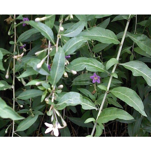 Eetbare tuin-edible garden Lycium barbarum - Goji berries