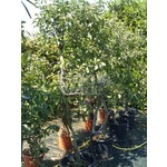Eetbare tuin-edible garden Malus domestica Red Jonaprince - Appelboom
