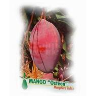 Eetbare tuin-edible garden Mangifera indica - Mango