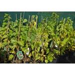 Eetbare tuin-edible garden Morus nigra - Black mulberry